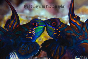 Mandarinfishes